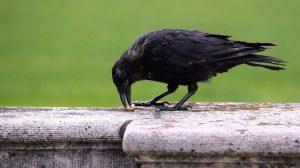 Butts: des oiseaux poubelles pour nettoyer l'impolitesse