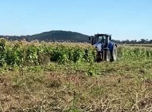 Australie: ces plantations de tabac clandestines qui perdurent