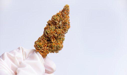 Photo libre de droit de Main Tenant Nug De Cannabis Avec Des Gants En Latex Isolés Sur Blanc banque d'images et plus d'images libres de droit de {top keyword} - iStock