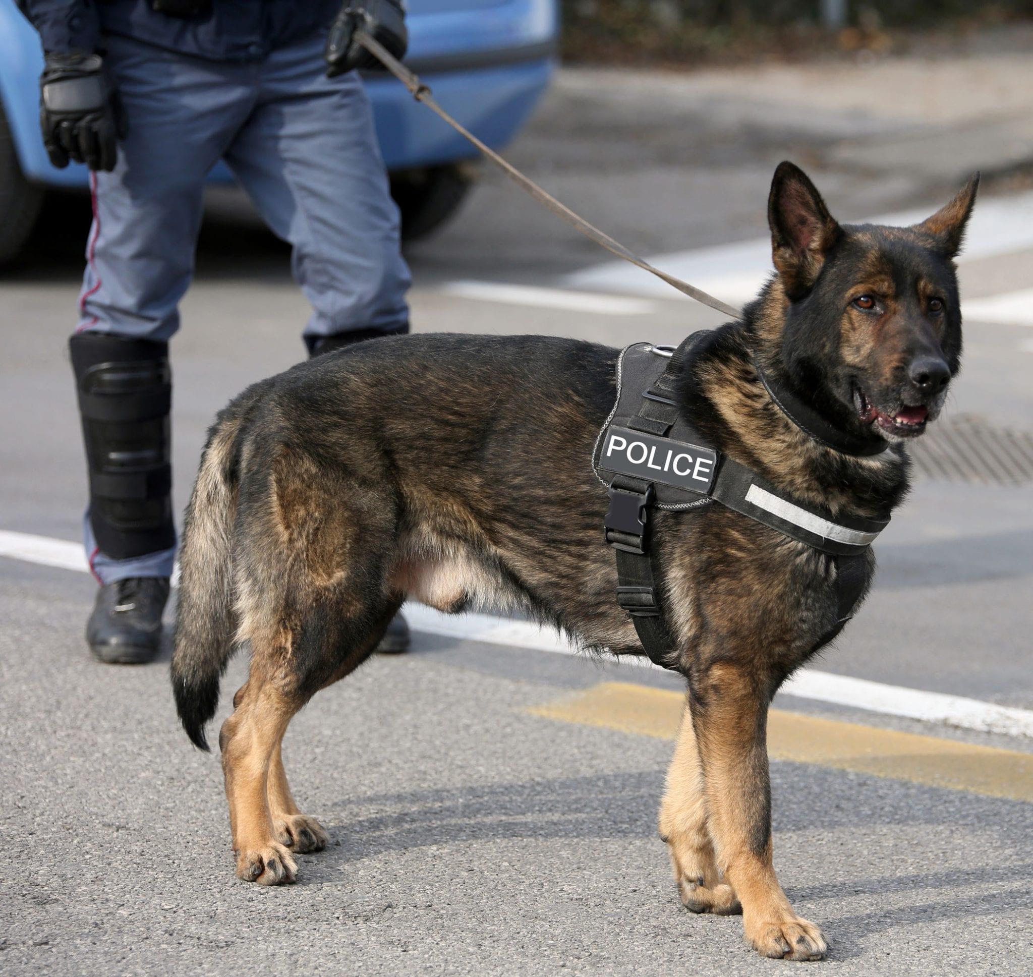 Arrêté pour trafic de drogue par un chien policier du Texas ? Vos droits - Hampton Law Firm